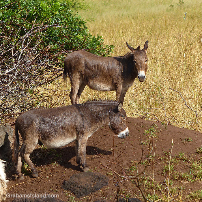 Two donkeys in Hawaii