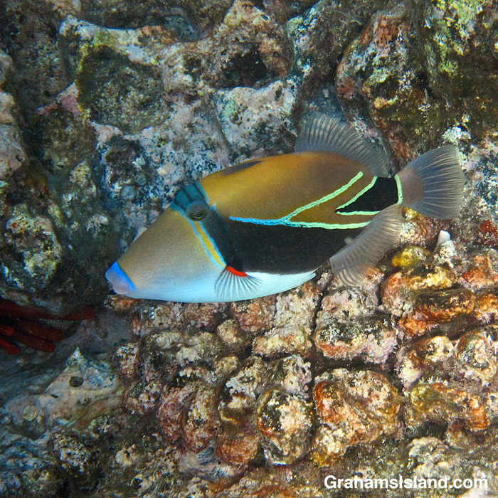A Wedgetail Triggerfish off Hawaii