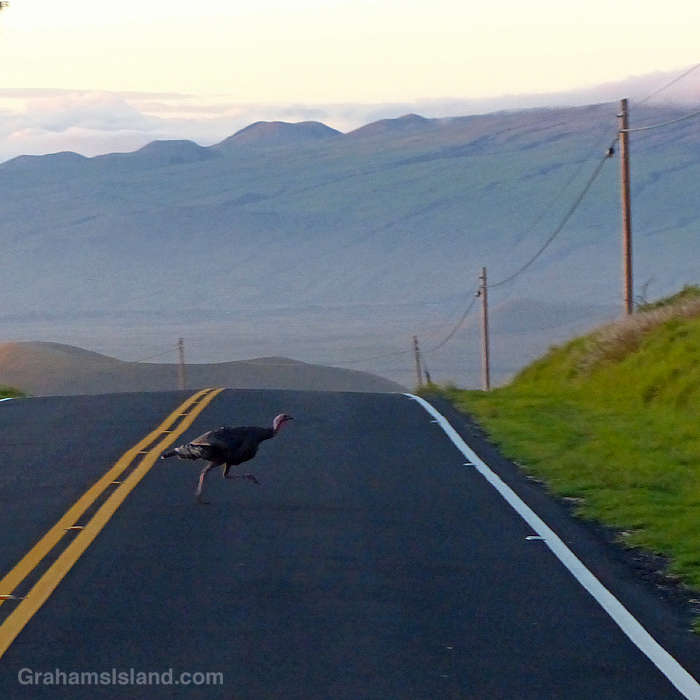 A wild turkey crosses Saddle Road in Hawaii