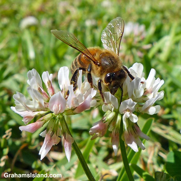 A bee scrambles over a clover flower