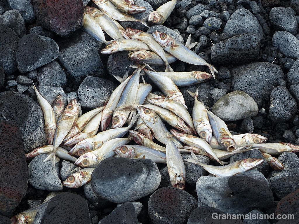 Dead fish among rocks at Kiholo, Hawaii