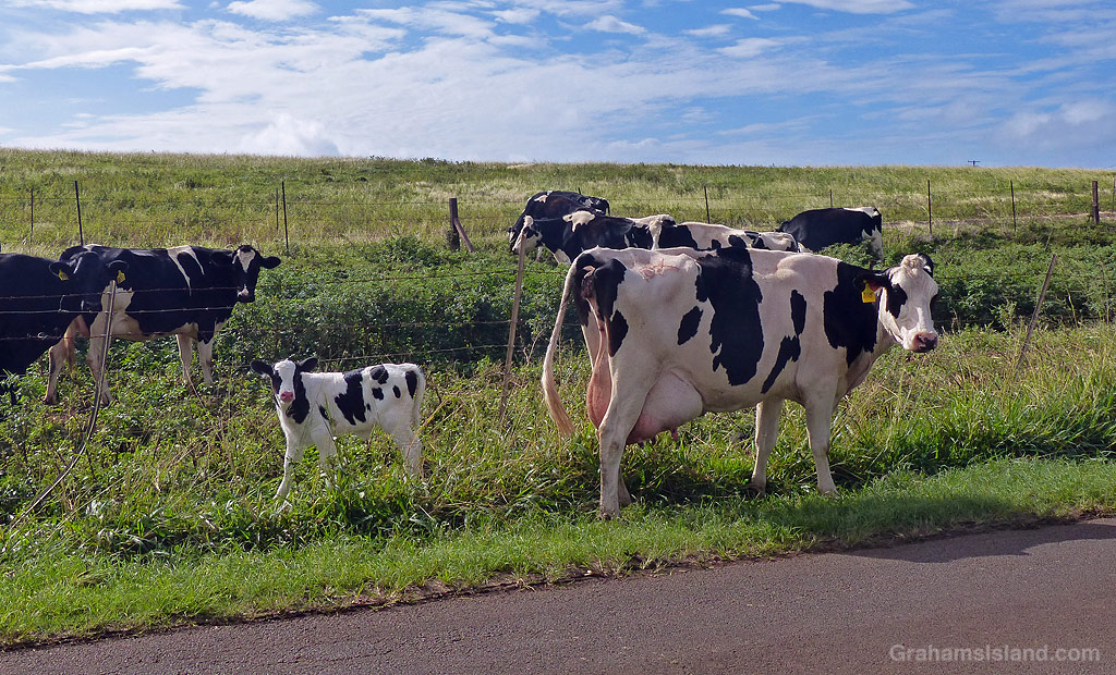 A cow and calf next to a road in North Kohala