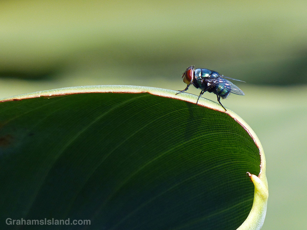 A fly on the edge of a leaf