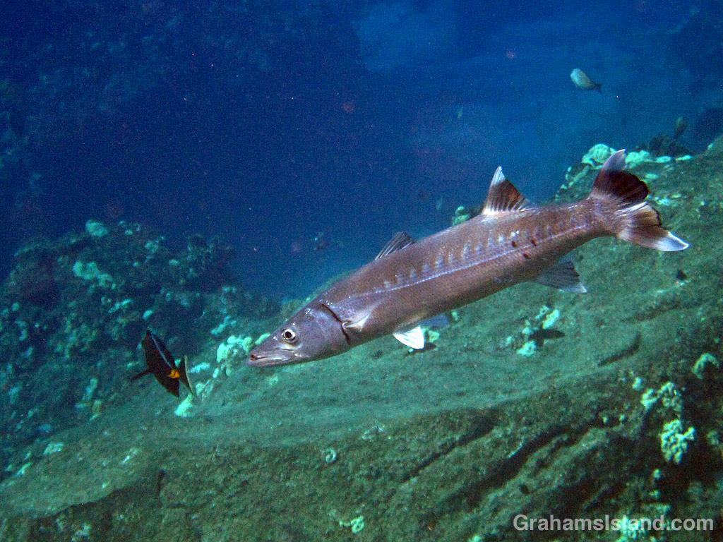 A great barracuda off the coast of Hawaii