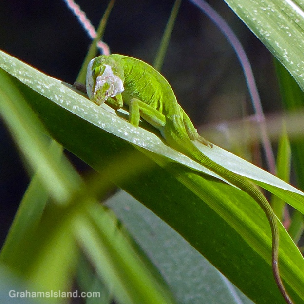 A Carolina green anole shedding in Hawaii