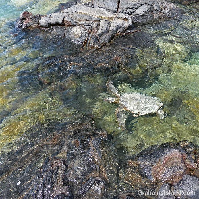 A green turtle swims in Kiholo Bay, Hawaii