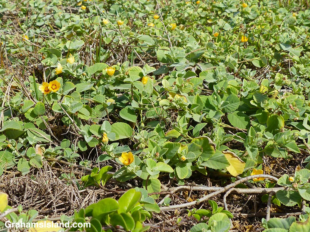 An Ilima groundcover plant