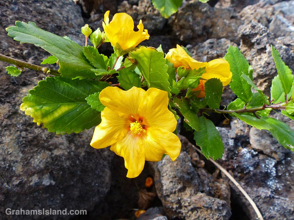 An Ilima shrub and flower