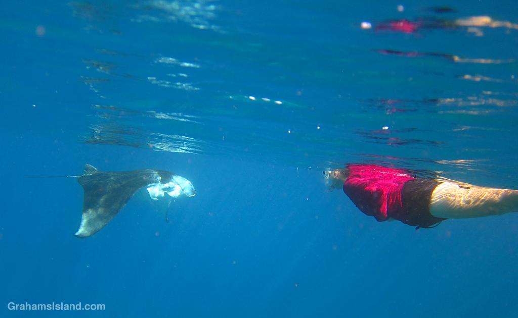 A snorkeler comes face to face with a coastal manta ray