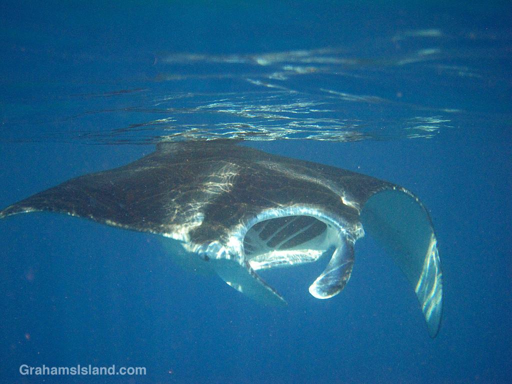A coastal manta ray approaches