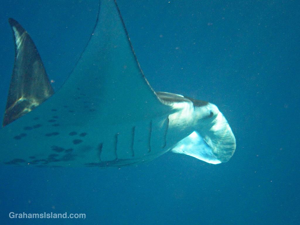 A coastal manta ray showing spots and gill slits