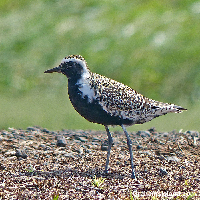 A Pacific Golden Plover in summer plumage
