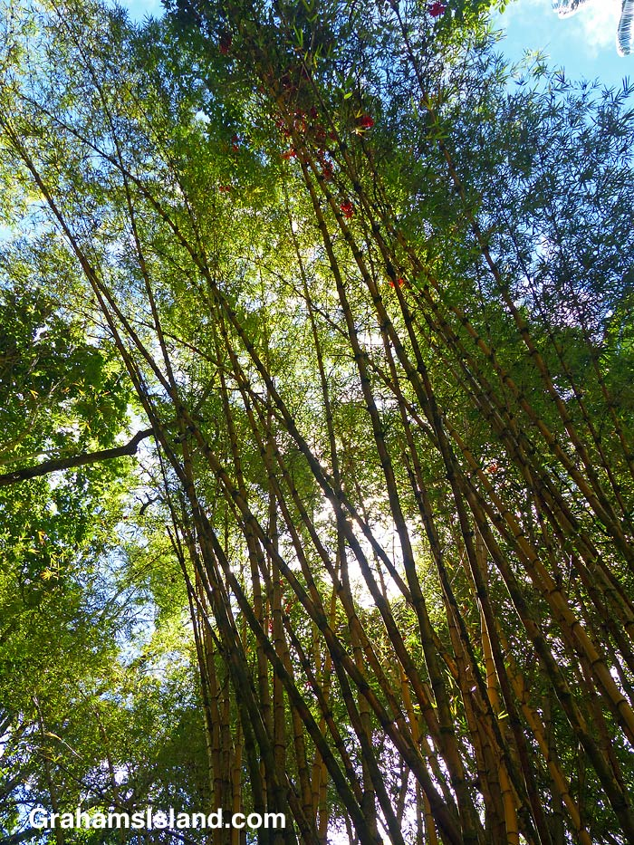 Painted bamboo at Hawaii Tropical Bioreserve and Garden