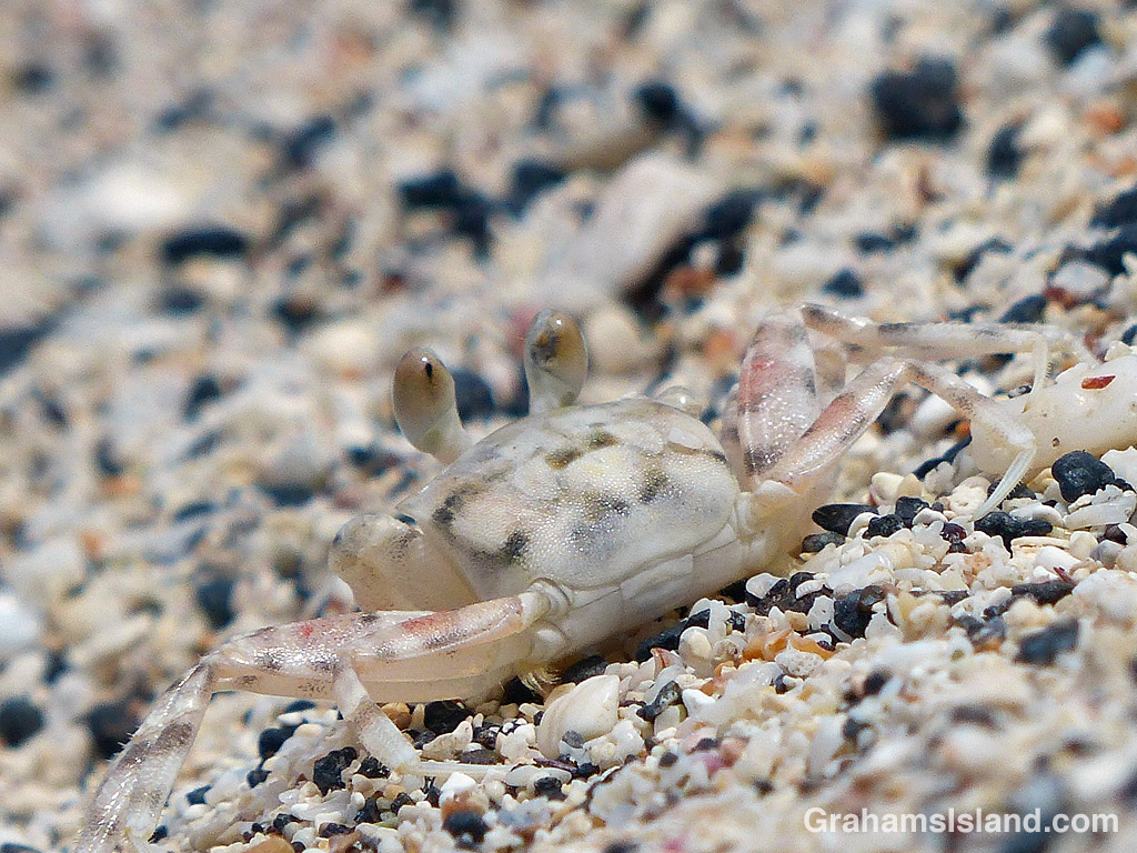 A Pallid ghost crab on a beach in Hawaii