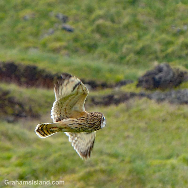A Hawaii short eared owl flying in Hawaii