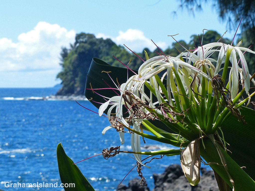 A spider lily on the coast at Hawaii Tropical Bioreserve and Garden
