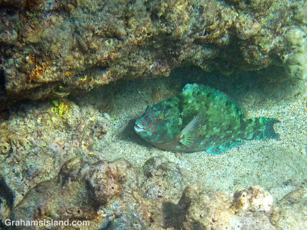 A stareye parrotfish resting on sand in Hawaii