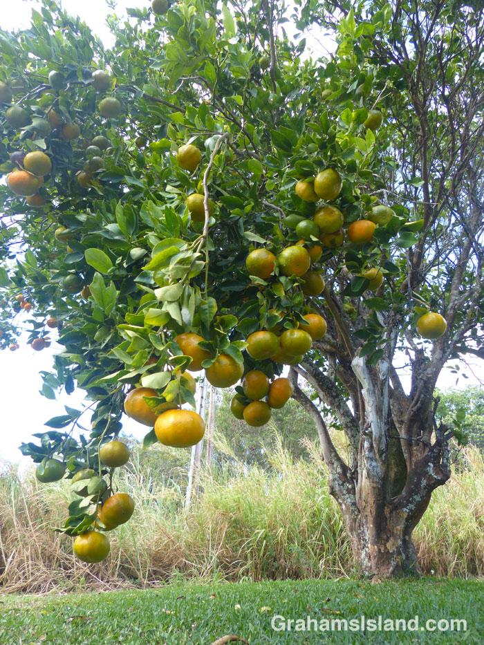Tangerines on a tree in Hawaii