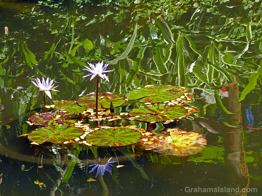 Water lilies at Hawaii Tropical Bioreserve and Garden in Hawaii