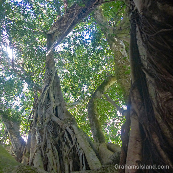 A view of a banyan tree