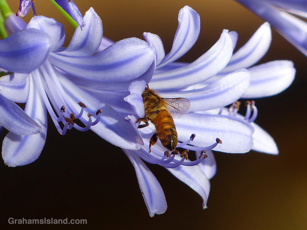 A bee on an agapanthus flower