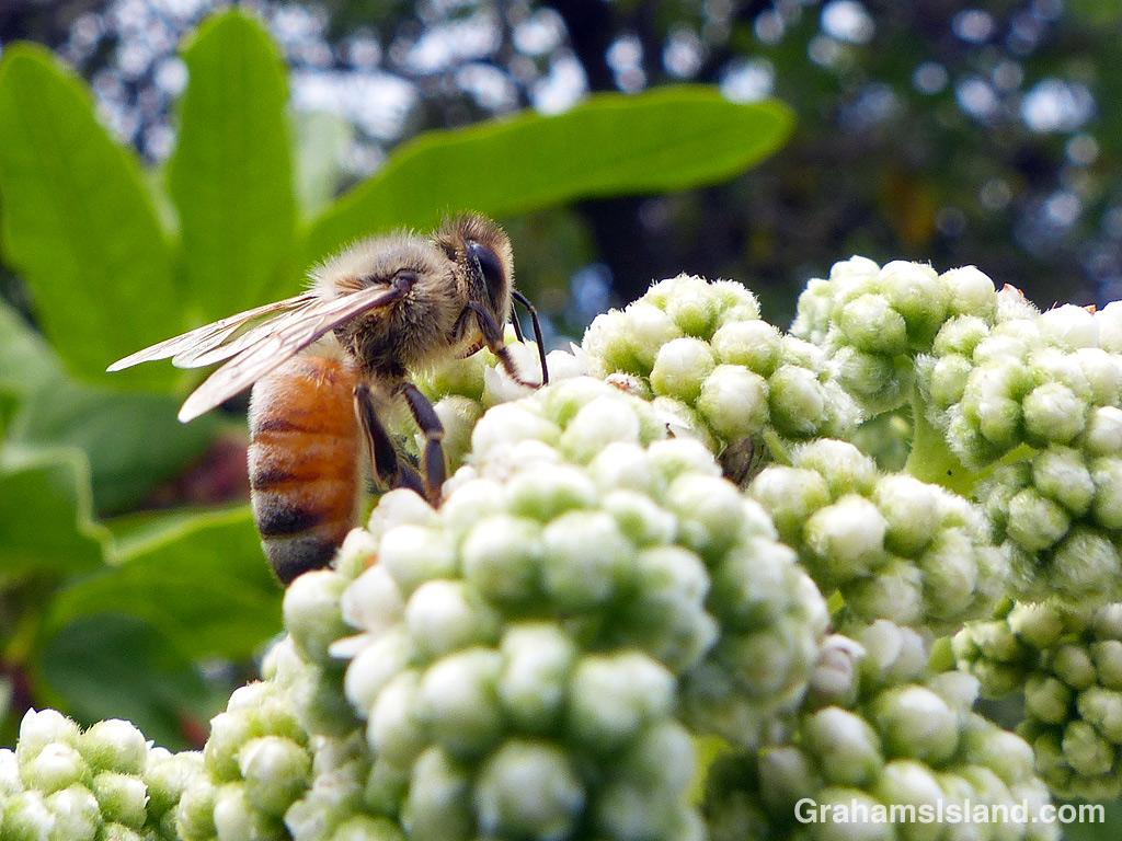 A bee on tree heliotrope flowers