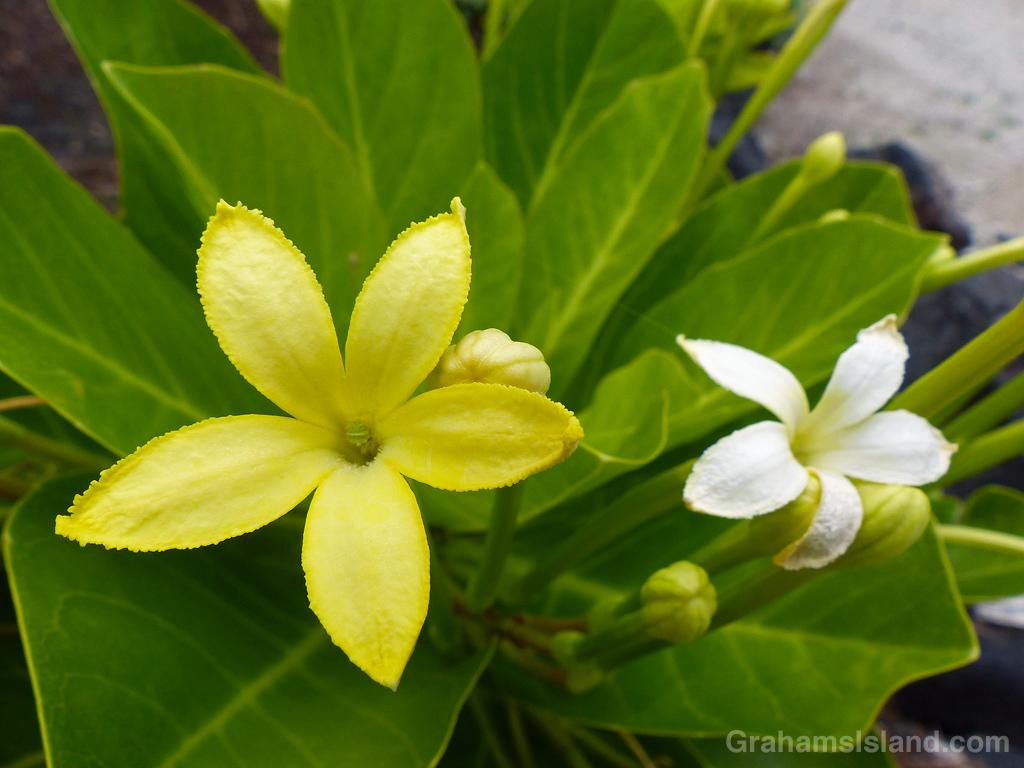 Brighamia insignis flowers at Kohanaiki Beach Park, Hawaii