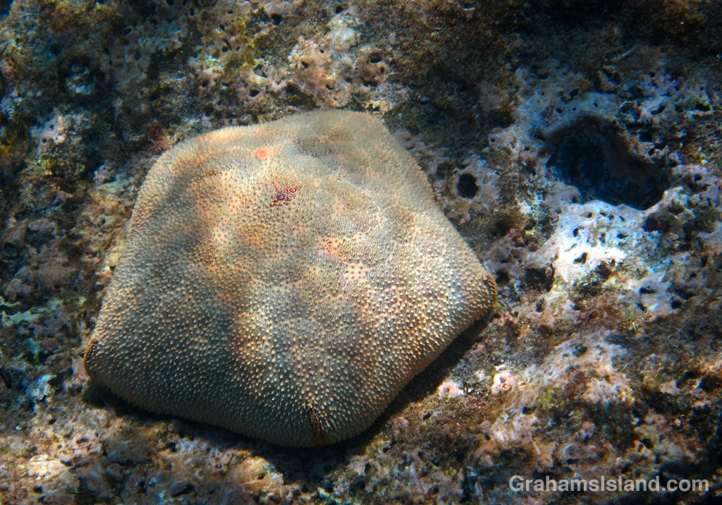 A cushion star in the waters off Hawaii