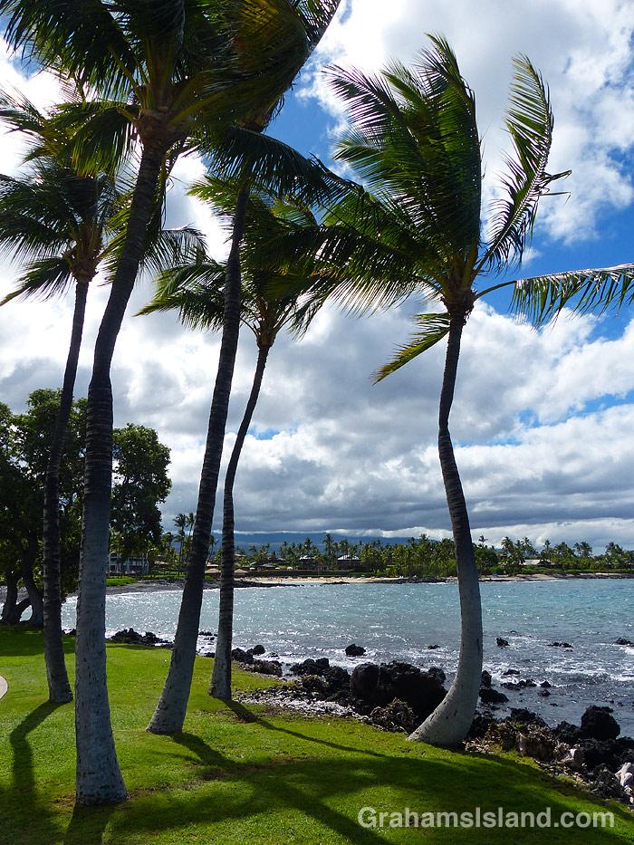 Palm tree on the coast in Hawaii