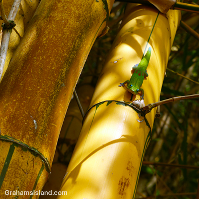 A gold dust day gecko on yellow bamboo