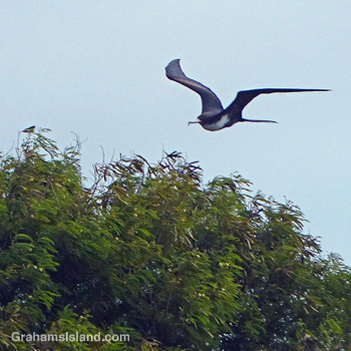 A great frigatebird flies low over some trees