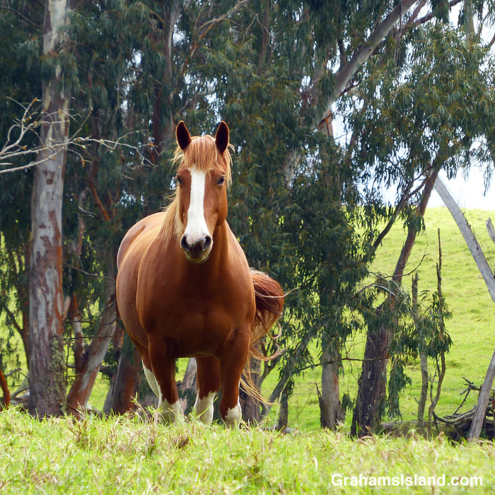 A horse in a pasture off Saddle Road, Hawaii