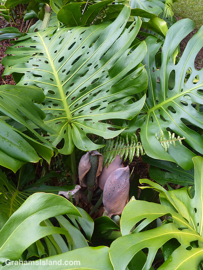 A monstera plant and flower