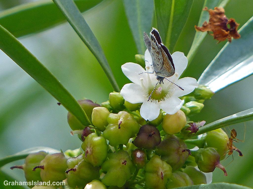A Western Pygmy Blue Butterfly on Myoporum sandwicense (Naio) flower at Kohanaiki Beach Park