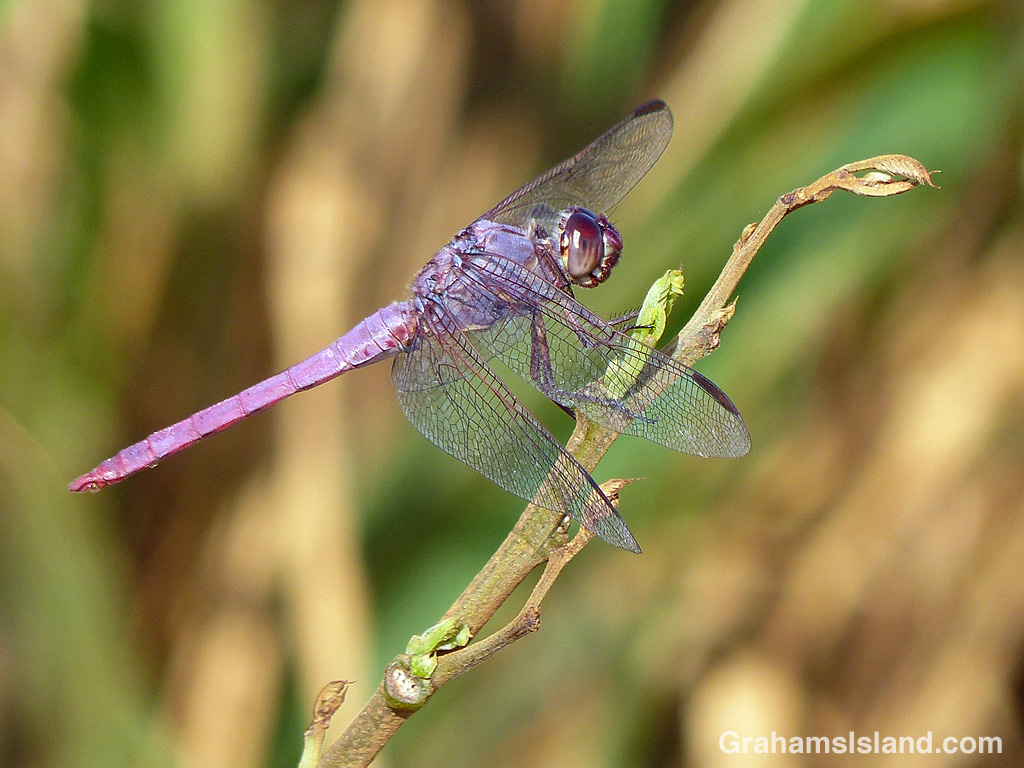 A Roseate Skimmer Dragonfly perched on a twig
