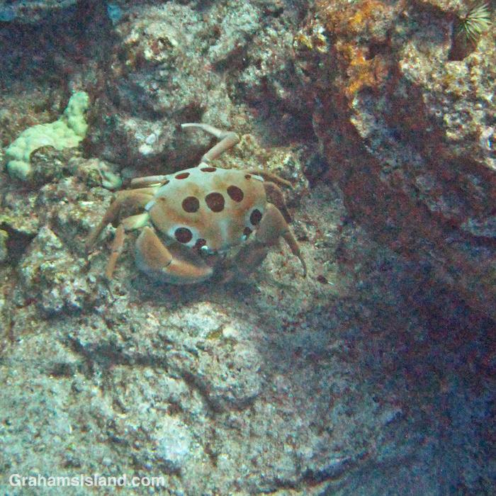 A Seven-eleven crab off Hawaii