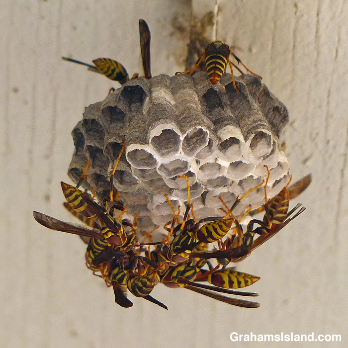 Wasps building a nest