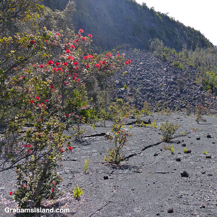 Ohia trees growing in the lava