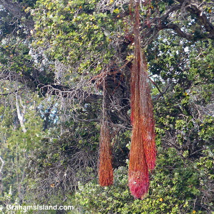 Ohia roots growing aerially