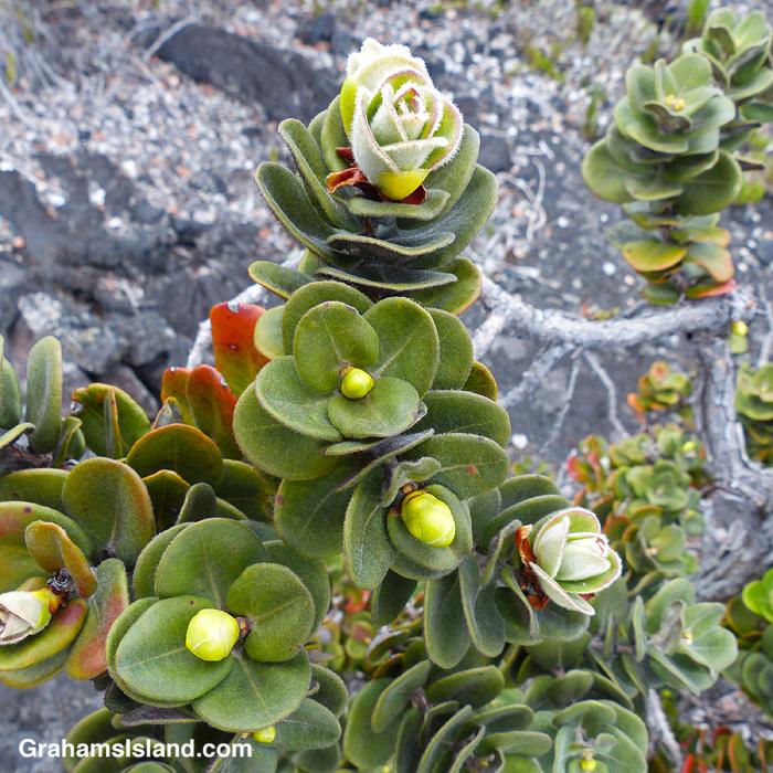 Ohia flower buds