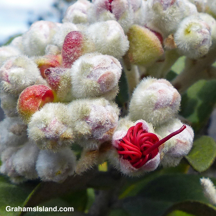 Ohia flower buds begin to reveal the flower within.
