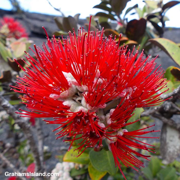 An ohia flower