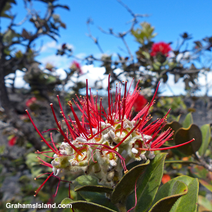 An ohia flower after pollination