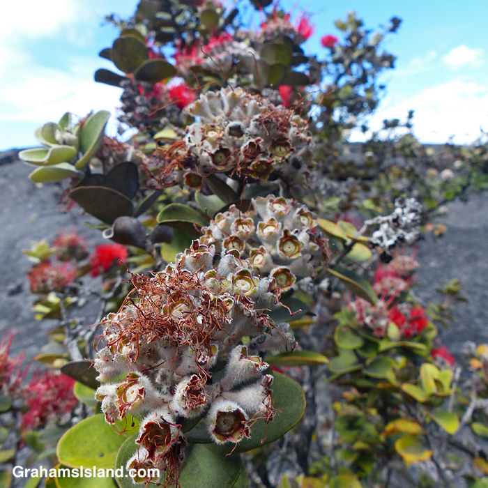 Ohia flowers after pollination
