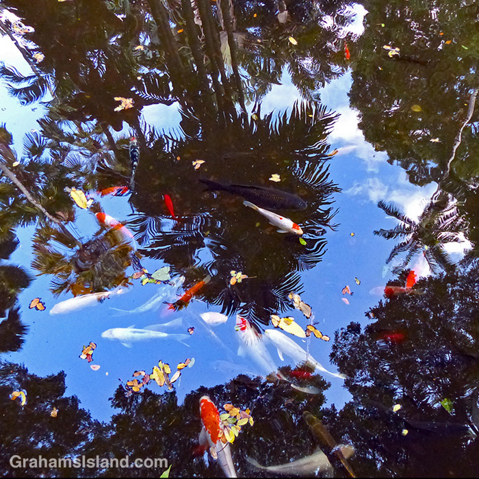 Koi in Lily Lake at Hawaii Tropical Bioreserve and Garden
