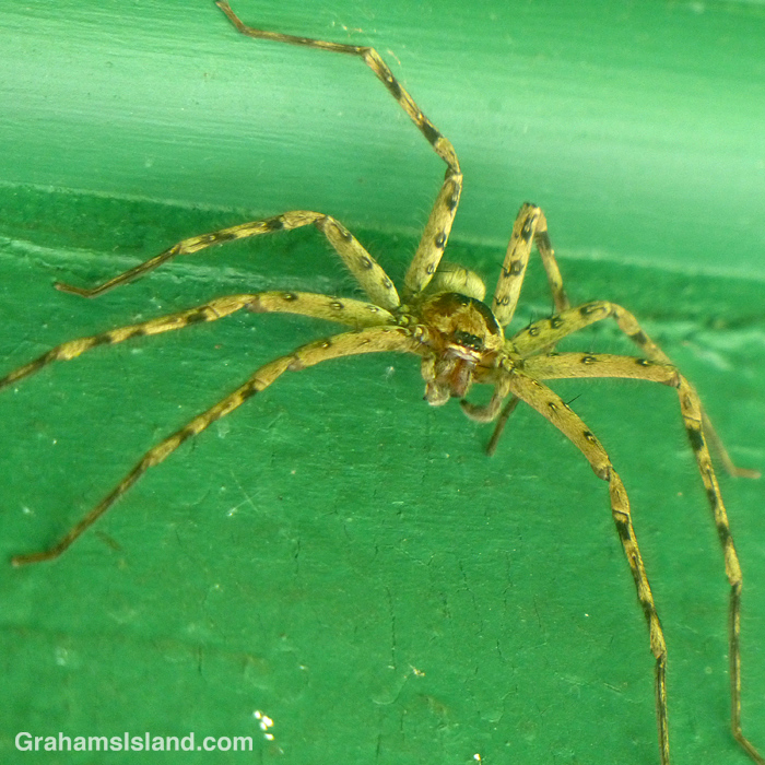 A cane spider in Hawaii