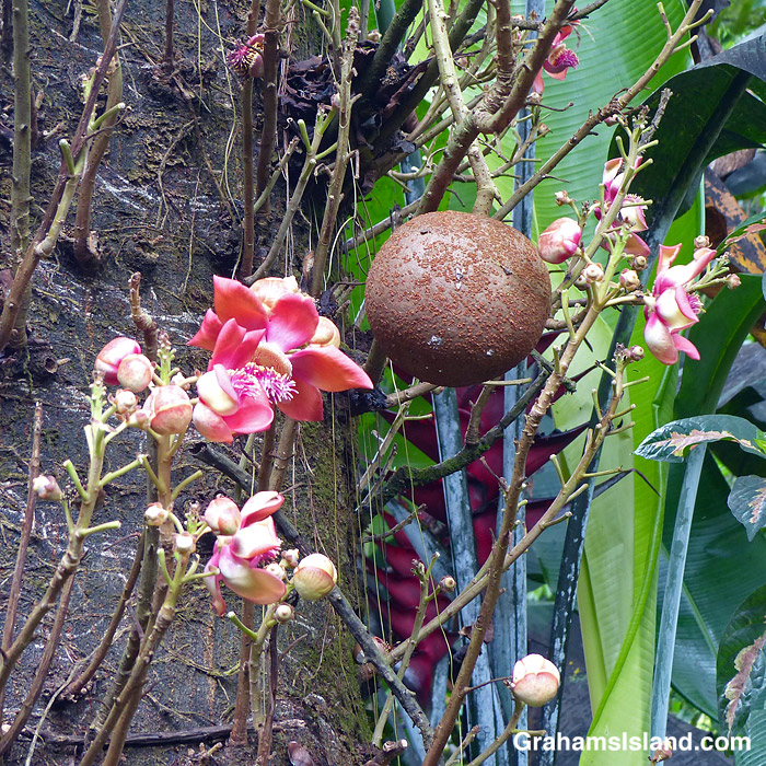 The flowers and fruit of a cannonball tree