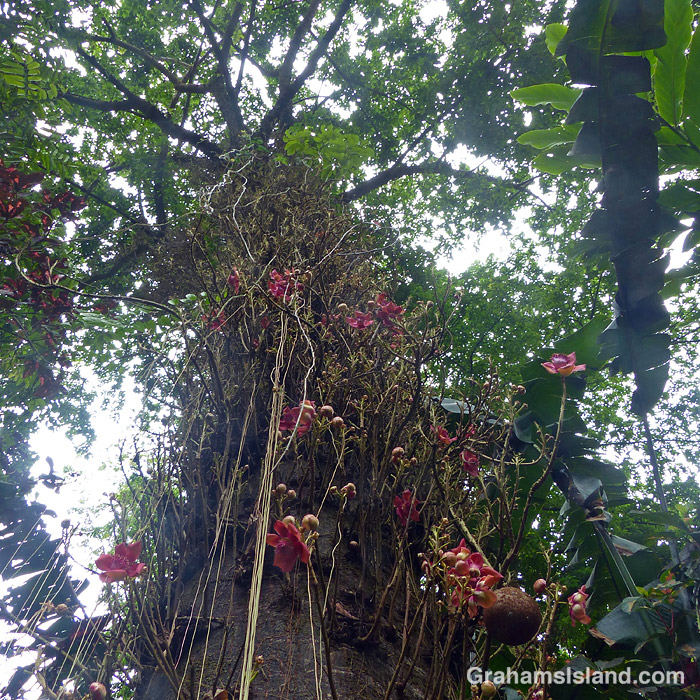 Looking up a cannonball tree