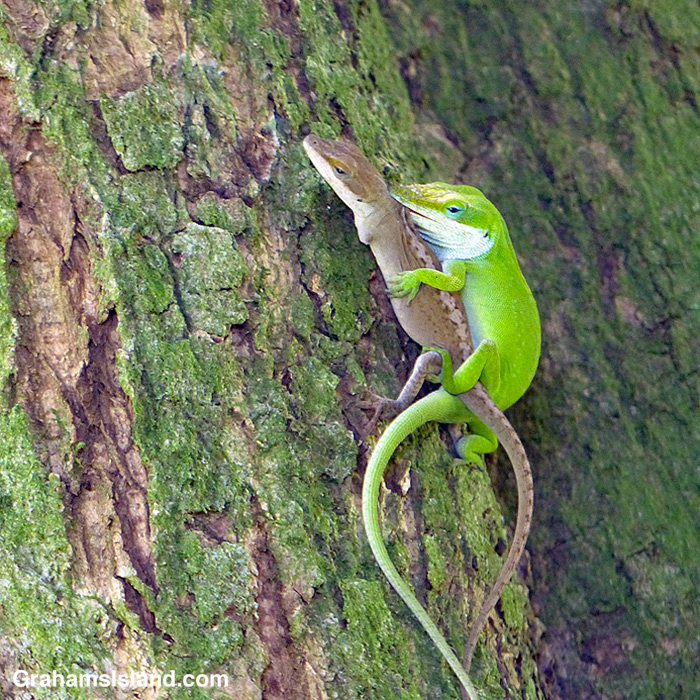 Green anoles mating on a mango tree trunk
