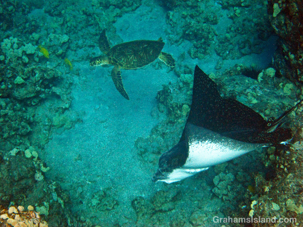 A Green turtle and spotted Eagle Ray in the waters off Hawaii